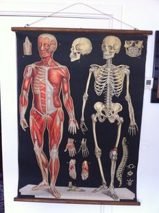 Antonio Vallardi, Milan, Italy - large antique anatomical wall chart, around 1901-1905