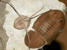 Natural Trilobite assamblage - Lonchodomas volborthi (2.5cm body only) and Asaphus lepidurus 5.8cm