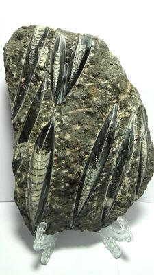 Fossil plate with polished Orthoceras - 1.860 kg - 22 x 17 cm.