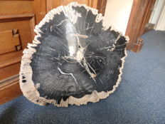 Fantastic nice and large piece of petrified wood - 62 x 61 x 5.5 cm - 36.2 kg