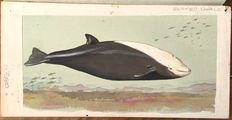 "Neave Parker (1910-1961) - Original illustration ""Beaked whale"" - early 1950s"