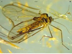 Baltic Amber mosquito inclusion