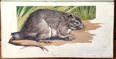 "Neave Parker (1910-1961) - Original illustration ""New Guinean giant rat"" - early 1950s"