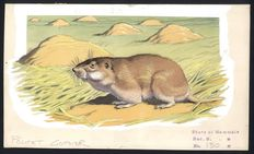 "Neave Parker (1910-1961) - Original illustration ""Pocket gopher"" - early 1950s"