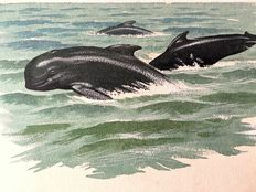 "Neave Parker (1910-1961) - Original illustration ""Pilot whales"" - early 1950s"
