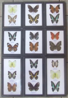 A fine collection of  Exotic Butterflies - 17.5 and 25 x 13,5cm  (9)