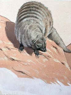 "Neave Parker (1910-1961) - Original illustration ""Banded mongoose"" - early 1950s"
