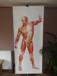 "Beautiful life size Anatomical school poster/school plate with ""the muscles of the man"""