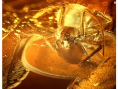 Baltic Amber  spider inclusion 6.7 grams !!! Also fly inside