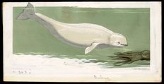 "Neave Parker (1910-1961) - Original illustration ""Beluga"" - early 1950s"