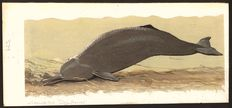 "Neave Parker (1910-1961) - Original illustration ""Gangetic dolphin"" - early 1950s"