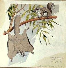 Neave Parker (1910-1961) - Originele illustratie 'American flying squirrels' - beginjaren '50