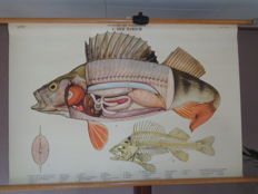 Beautiful intact Anatomy school poster on linen of the  bass from the series vertebrate animals.