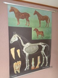 "Old and in beautiful condition zoology anatomy school poster / school map (print) of Jung Koch Quentell ""The horse"""