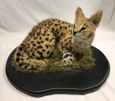 Best quality taxidermy - Serval juvenile - Leptailurus serval - 50 x 50 x 30cm - 3250gm
