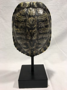 Cumberland Slider turtle - full carapace on standard - Trachemys scripta troostii - 25 x 12 x 9cm - 780gm