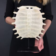 Chinese Softshell Turtle carapace skeleton, with custom-stand - Trionychidae sp. - 28 x 22cm