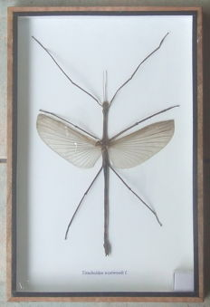 Taxidermy - female Asian Stick Insect - Tirachoidea westwoodii - 30 x 20cm