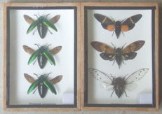 Set of Insects in flight - Cicada and Jewel Beetles - 17.5 x 12.5cm  (2)