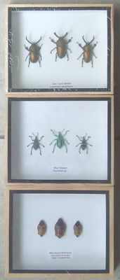 South East Asian Insects in natural wood display cases - 15 x 12.5cm  (3)