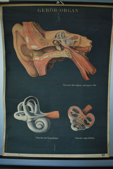 Old cardboard anatomical school poster of the ear, Deutsches Hygiene Museum