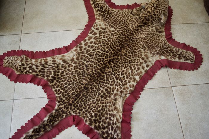 Antique taxidermy - Indian Leopard Skin Rug - Panthera pardus - 178 x 104cm  - pre-CITES - Catawiki
