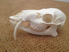 Chinese Water Deer skull with perfect Tusks - Hydropotes inermis - 16cm