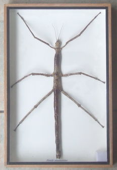 Taxidermy - male Asian Stick Insect - Phasmatidae sp. - 30 x 20cm