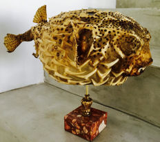 Antique Porcupine Fish on marble stand - Diodonidae sp. - 42cm