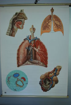 Old anatomical school poster of the respiratory organs of humans, Deutsches Hygiene Museum