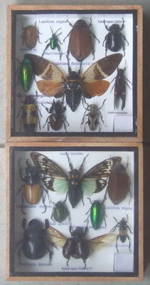 Fine Exotic Insect display cases - 15 x 15cm  (2)