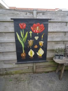 Lovely school poster by Jung-Koch-Quentell; The Tulip