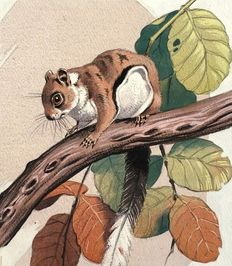 "Neave Parker (1910-1961) - Original illustration ""Dwarf flying squirrel"" - early 1950s"