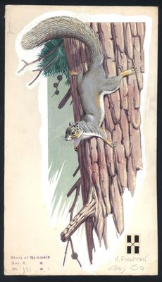 "Neave Parker (1910-1961) - Original illustration ""North American grey squirrel"" - early 1950s"