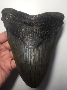 Very large shark tooth - C. megalodon - 16.35cm - 6.44in