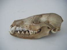 Common Badger skull - Meles meles - 13.5 x 7cm