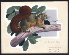 Neave Parker (1910-1961) - Originele illustratie 'Red bellied squirrel' - beginjaren '50