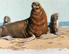 "Neave Parker (1910-1961) - Original illustration ""Fur seal"" - early 1950s"