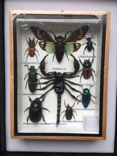 Fine Exotic Insect collection in wood display case – 15 x 20cm