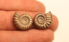 Matched pair of Iron Pyrite Ammonite Fossils - Promicroceras Pyritosum - 17mm