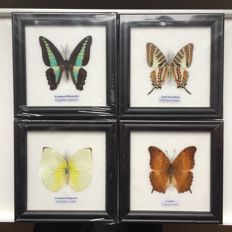 Nice collection of Asian Butterflies – 12.3 x 12.3cm (4)