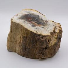 Trunk of petrified wood - 13 x 10 x 8 cm - weight: 2 kg