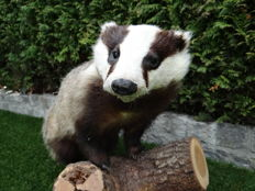 Lovely quality taxidermy - Common Badger - Meles meles - 75 x 40 x 55cm