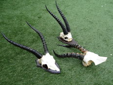 Set of fine African Antelope horns with hardwood shields - Impala, Thomson's Gazelle and Blesbok  - 42 x 16,  45 x 22 and 30 x 14cm  (3)