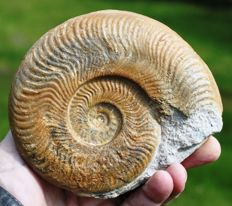 Beautiful fossil Ammonite - Harpoceras falciferum (Sowerby) - 13.3 cm - 0.6 kg.