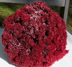 Large branch of red Organ Pipe Coral - Tubipora musica -  27 x 23 x 21cm