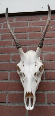 Red Deer skull, with first year Antler growth - Cervus elaphus - 60 x 30cm