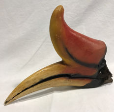 Antique Rhinoceros Hornbill skull with large casque - Buceros rhinoceros - 28 x 7 x 20cm - 420gm - pre-CITES