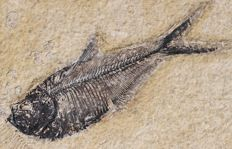 Fossil fish DIPLOMYSTUS DENTATUS - 10.7 cm - bones and fins visible - Plate of 17x16cm, 1.3 kg