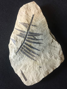 Beautiful specimen of Cardiocarpus - Carboniferous - 26x18x3 cm